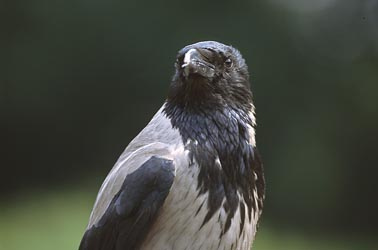 Hooded Crow (Gray variety) (Corvus corone) Wikipedia