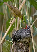 Common Cuckoo (Wikipedia)
