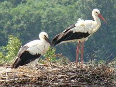 White Stork (Wikipedia)