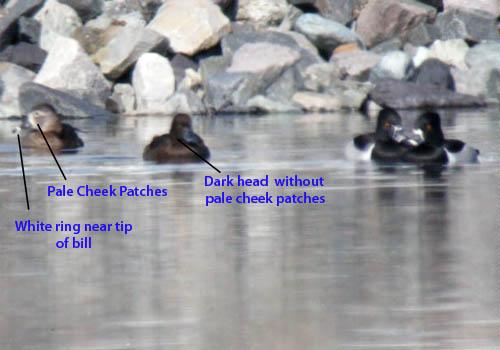3-duck-comparison