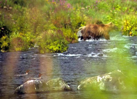 bear-across.jpg