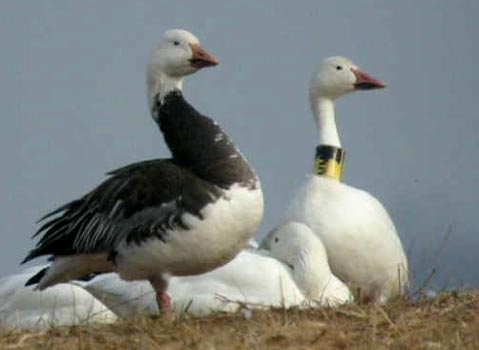Blue Goose and a tagged Snow Goose