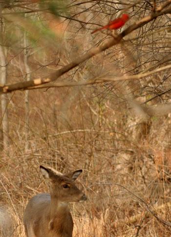 cardinal-and-deer.jpg