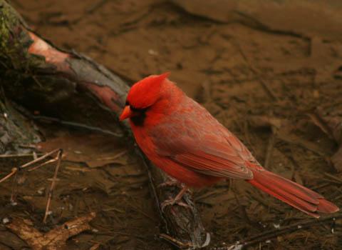 cardinal-on-root.jpg