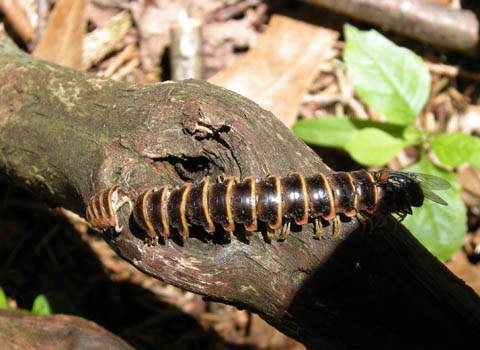 Millipede