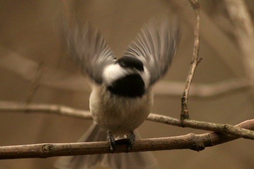 chickadee2.JPG