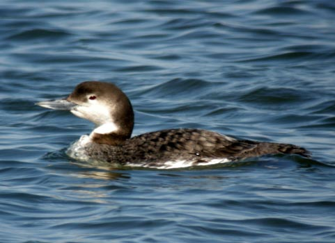 common loon facts. above water, preening and