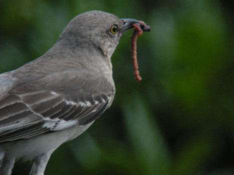 Mockingbird with something yummy for the kids