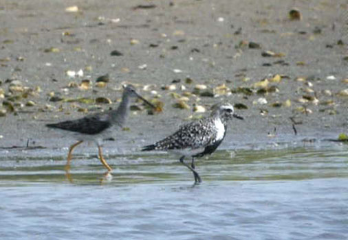 Lesser Yellowlegs and Black-bellied Plover