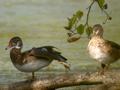 Wood Ducks Getting the Kinks Out