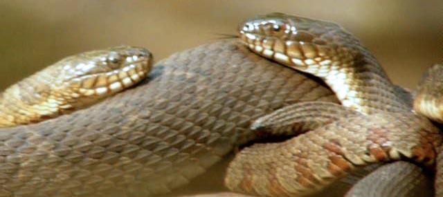 Water Snake4