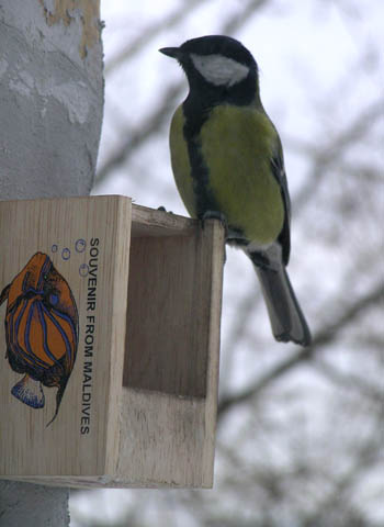 Great Tit (Parus major) -photo by Sasha Panov