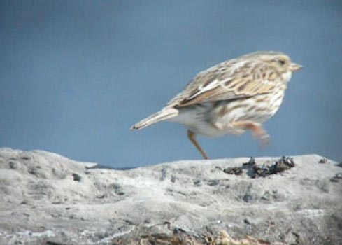 ipswich-sparrow-run2.jpg