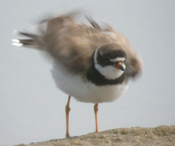 Fluffing Semi-palmated Plover
