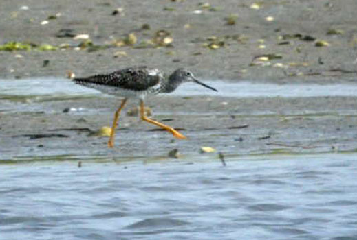 Lesser Yellowlegs #2