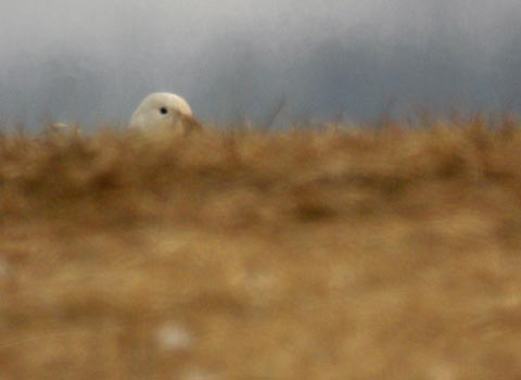 peeking-goose.jpg