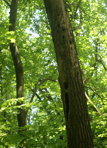 pileated-tree