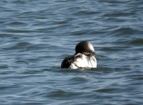 preening-loon.jpg