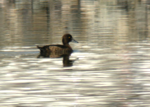 tufted-duck-2